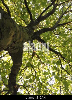 Un faible angle d'un arbre et ses branches à la fin de l'été. Banque D'Images