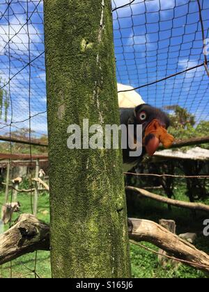 King Vulture sur autour de piscine jusqu'à clôture à monde des oiseaux à Hout Bay, Cape Town, Afrique du Sud Banque D'Images