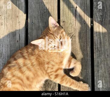 Le gingembre ou Orange chat tigré à environ un an et demi, se détendre et s'furets chaud au soleil sur une terrasse en bois