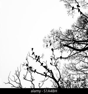Les pigeons s'assit sur l'arbre sans feuilles silhouetté contre le ciel gris blanc Banque D'Images