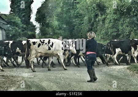 Les Vaches traversant une route près de Bruton, Somerset, Angleterre Banque D'Images