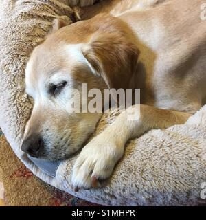 Chien labrador blond hauts de dormir dans son lit Banque D'Images