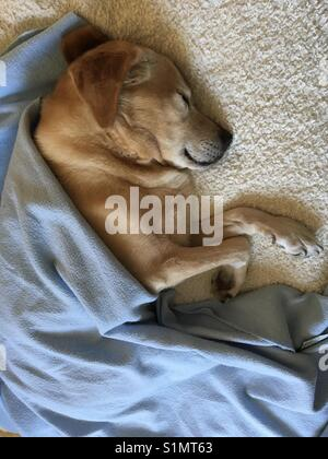 Labrador retriever sleeping in bed with blanket Banque D'Images