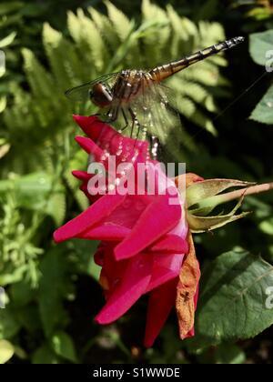 Assis sur une libellule rose close up