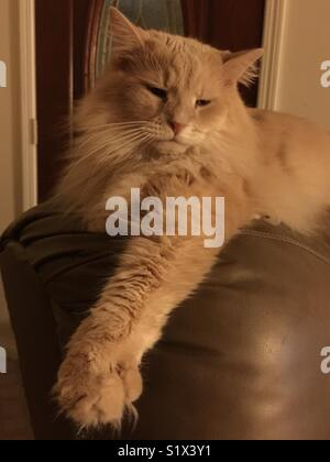 Grand, long-haired, fluffy, chat jaune se détend sur une chaise.