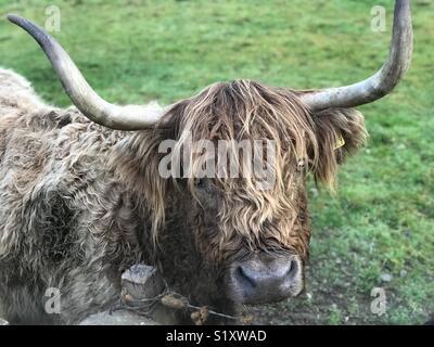 Beau portrait de vache Highland dans le champ à côté du château de Stirling, Écosse Banque D'Images
