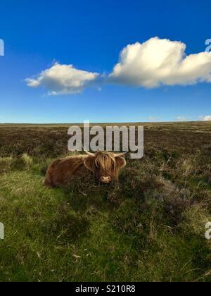 Belle vache highland Banque D'Images