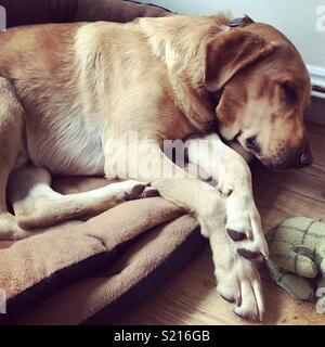 Golden Labrador dormir au lit Banque D'Images