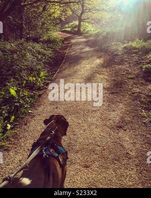 Boxer Dog Walk Banque D'Images