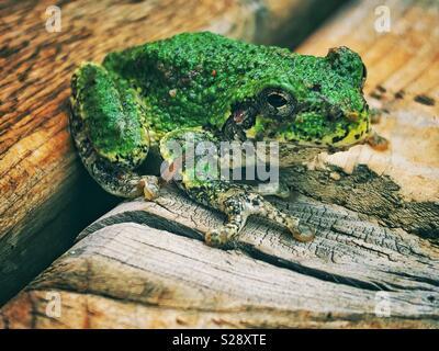 La rainette versicolore (Hyla versicolor) sur une surface en bois Banque D'Images