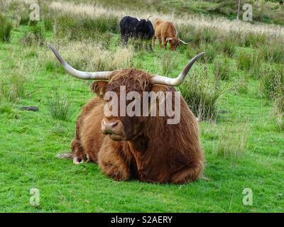 Vache Highland Ecosse Banque D'Images