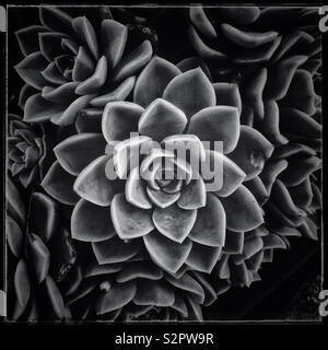 En forme de rose succulent. Photo en noir et blanc. Banque D'Images