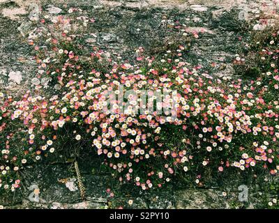 Marguerites multicolores, fruit d'un mur Banque D'Images