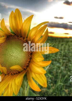 Un seul dans un champ de tournesol. Le soleil se couche à l'arrière-plan (1). Banque D'Images