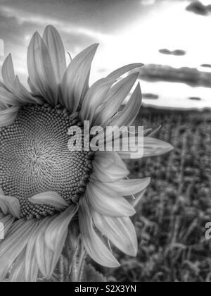 Un seul dans un champ de tournesol. Le soleil se couche à l'arrière-plan (1/noir et blanc). Banque D'Images