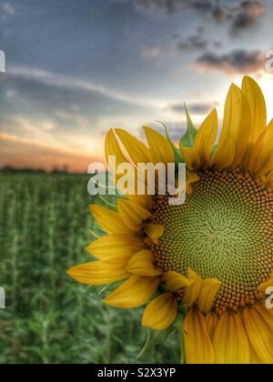 Un seul dans un champ de tournesol. Le soleil se couche à l'arrière-plan (2). Banque D'Images