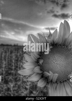 Un seul dans un champ de tournesol. Le soleil se couche à l'arrière-plan (2/noir et blanc). Banque D'Images