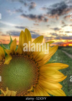 Un seul dans un champ de tournesol. Le soleil se couche à l'arrière-plan (3) Banque D'Images