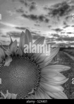 Un seul dans un champ de tournesol. Le soleil se couche à l'arrière-plan (3/noir et blanc). Banque D'Images