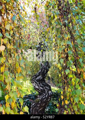 Betula pendula 'youngii' arbre en automne, à Silverton, Oregon. Banque D'Images