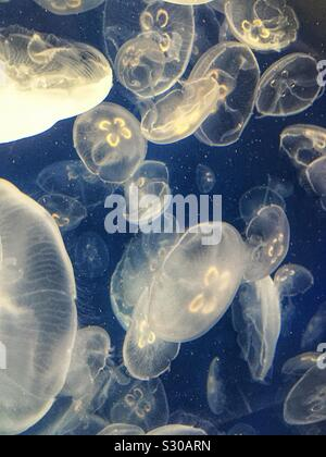 Les méduses au Kamogawa Sea World, Chiba, Japon Banque D'Images