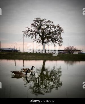 Deux belles oies qui nagent au bord du lac au coucher du soleil, parmi les superbes arbres qui reflètent dans l'eau à la marina locale.