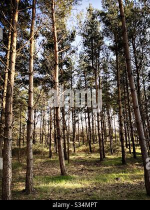 De grands pins dans une forêt dense rurale. Scène naturelle de treescape dans un sentier boisé l'après-midi