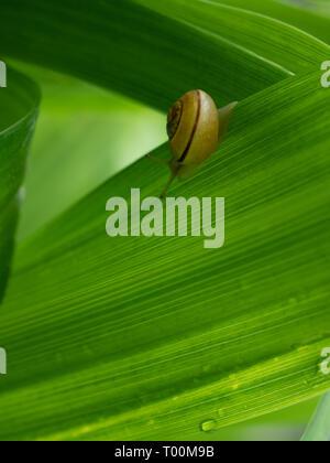 Escargot jaune à rayures traversant une feuille verte à rayures sur une journée de printemps. L'espace pour le texte. Banque D'Images