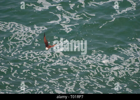Brahminy Kite, Kerala, Inde Banque D'Images