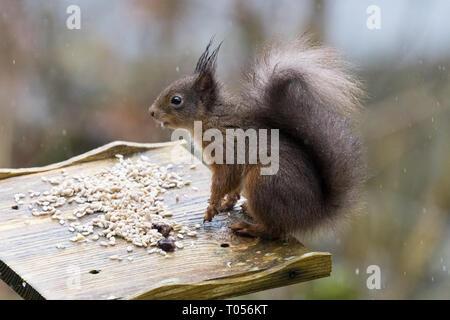 - L'écureuil roux Sciurus vulgaris - noir-rouge ou noir, coloration mue - Écosse, Royaume-Uni