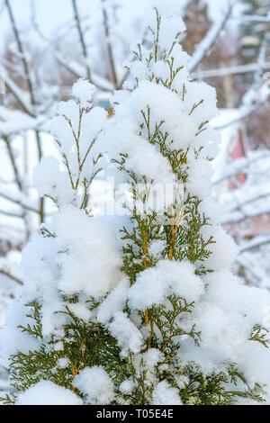 Thuja branches après les fortes chutes de neige Banque D'Images