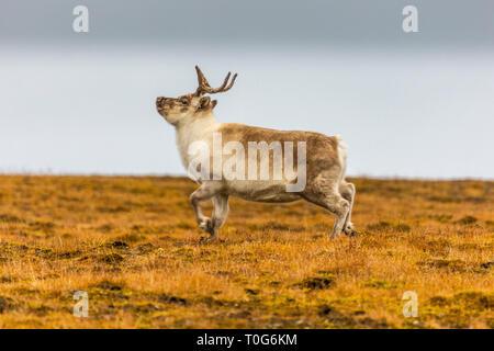 Renne du Svalbard s'exécutant sur la toundra en été à Svalbard, Spitzberg, Norvège Banque D'Images