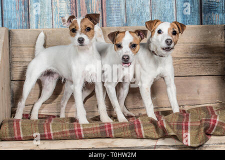 Trois chiens Jack Russell Terrier Banque D'Images