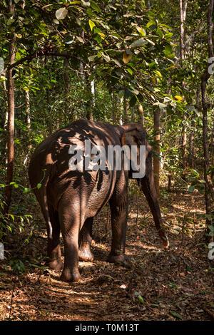Cambodge, province de Mondulkiri, Sen Monorom, Elephant Valley Project, Sambo, ancien temple éléphant à Wat Phnom, marche sur chemin forestier Banque D'Images