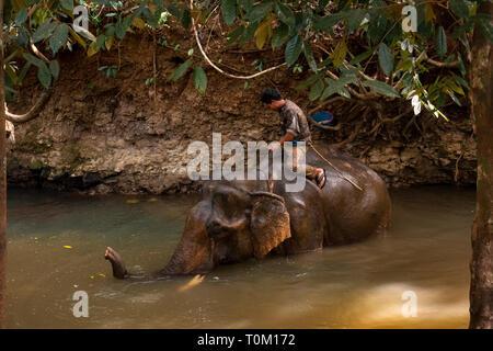 Cambodge, province de Mondulkiri, Sen Monorom, Elephant Valley Project, Hen, homme ancien éléphant de journalisation en rivière avec baignade mahout sur retour Banque D'Images