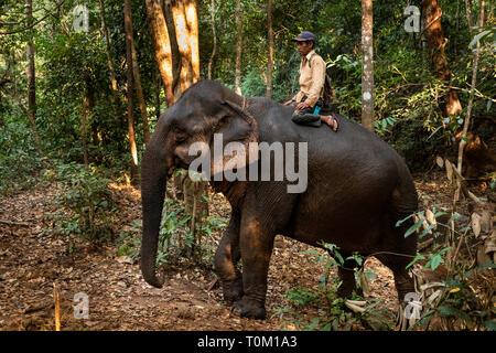 Cambodge, province de Mondulkiri, Sen Monorom, Elephant Valley Project, Mahout randonnée balade à travers la forêt Banque D'Images