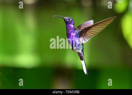 Campyloptère violet (Campylopterus hemileucurus), mâle adulte, en vol. Le Parc National de Monteverde, Costa Rica.