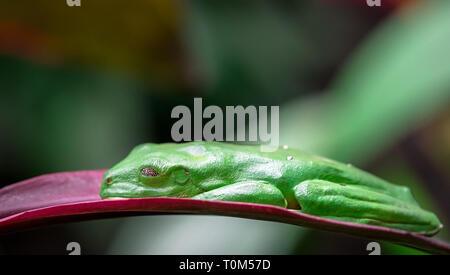 Gliding tree frog (Agalychnis spurrelli) endormi sur une feuille. Costa Rica. Banque D'Images
