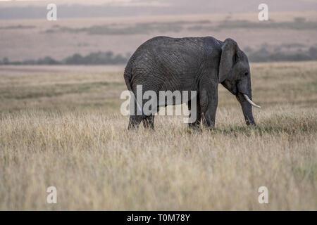 Les éléphants d'herbe dans l'alimentation de la Savane parc Masai Mara