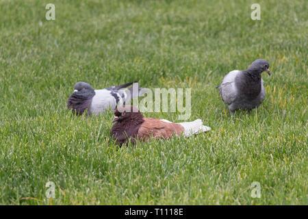 La vue de trois pigeons sur une herbe verte. Banque D'Images