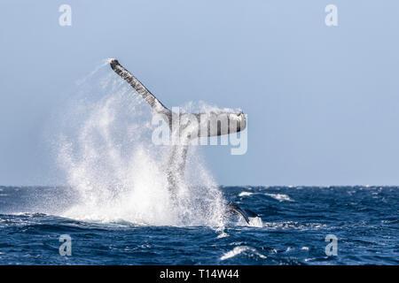 Queue d'une baleine à bosse, Maui, Hawaii