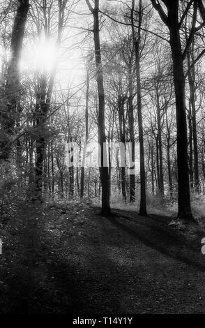 Lumière du soleil à travers les branches d'un chemin forestiers dans l'Ouest à pied, forêt de Bere, Hampshire, UK: hêtres sur noir et blanc cabine infra-rouge, filmstock avec sa structure de grain proéminent, à contraste élevé et lumineux brillant feuillage. Banque D'Images