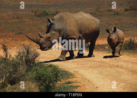 Une merveilleuse scène d'une mère sauvage Rhinoceros menant son jeune veau à un point d'eau dans la brousse sud-africaine. Banque D'Images
