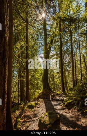 Grand arbre est découpé par le soleil couchant peeking entre branches sur un sentier dans une section de mousse Muir Woods Banque D'Images