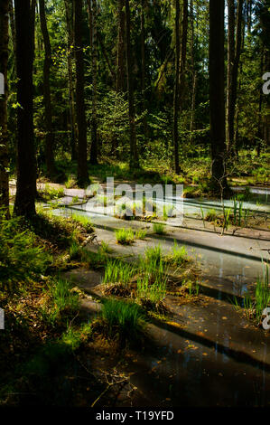 Lever du soleil incroyable dans la forêt. Parc national de Biebrza. La Pologne. Banque D'Images