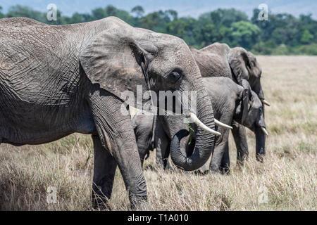L'alimentation de la famille d'éléphants d'Afrique de l'herbe sèche en Maasai Mara
