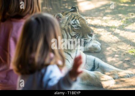 Deux filles de bébé regardant un tigre de Sibérie à travers la vitre de son enclos Banque D'Images