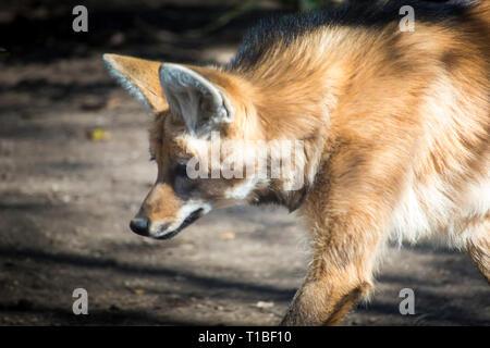Le loup à crinière (Chrysocyon brachyurus) marche sur une journée ensoleillée. Banque D'Images