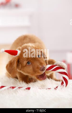 Nova Scotia Duck Tolling Retriever Puppy Banque D'Images