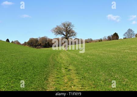 Un paysage rural avec la voie à travers un champ cultivé dans les collines de Chiltern avec lonely tree Banque D'Images